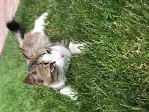 FOUND: Grey and White Adult tabby Cat