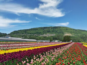 Abbotsford Tulip Festival and EASTER Hotel Lodging in LANGLEY