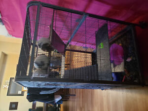 4 female rats, includes: Rat cage, accessories and food.