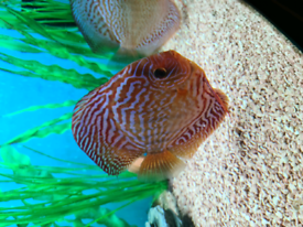 Red Turq Stendker discus