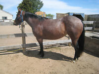 Beautiful 6 year old AQHA Bay Roan Mare for sale