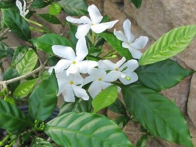 5 Asian Star Jasmine Seeds Rare Tropical Fragrant Flower Perennial - Tropical Flower