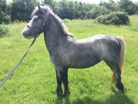13hh dapple grey cob mare