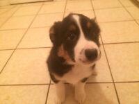Cute Border collie x australian shep. puppy available