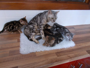 Litter is ready. Marble bengals
