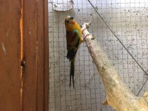 Breeding birds for sale: red Rumps, Cockatiels, love birds!