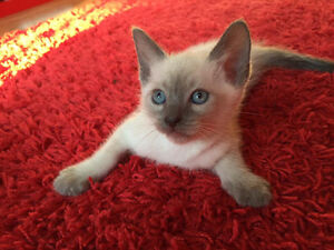 CHATON SIAMOIS BLUE POINT