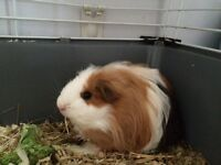 2 baby guinea pigs plus cage and food