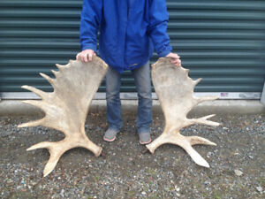 Large match Set Moose antlers with irregular shaped point growth
