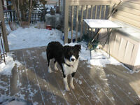 Available for adoption female Border Collie cross