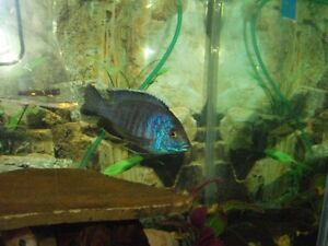 Young Adult African Blue Peacock Cichlid