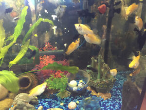 Mollies and guppies
