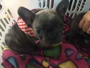 Rare Blue French Bulldog puppy for sale!