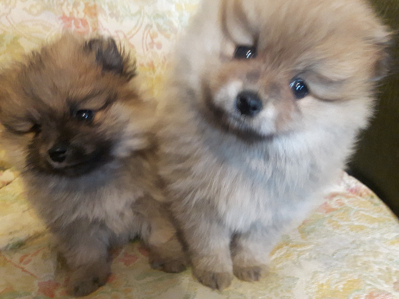 Toy Pomeranians For Sale Dogs Puppies For Rehoming Kitchener