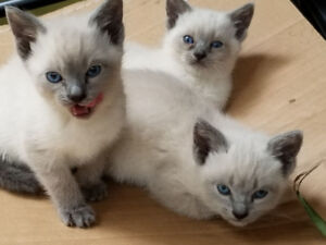 Siamese Kittens for sale $400