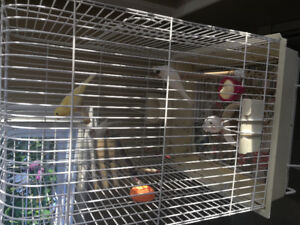 Canary Birds for Sale