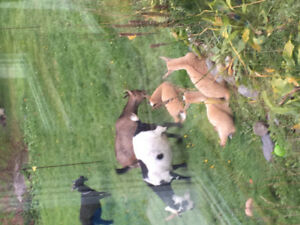 Dwarf Goats for sale
