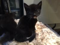 5 black and white kittens for free