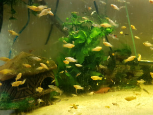 red swordtails,ramshorn snails