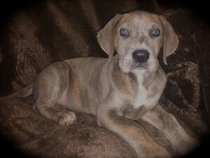 Great Dane Blue Brindle Female ~ Ready Now.
