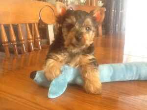 Yorkshire Terrier Males