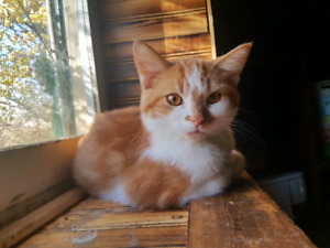 Theon an beautiful Orange n White Male Kitten