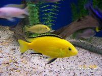 Cichlids baby fish  Special