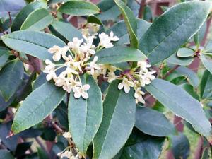 "57"" tall Sweet Tea Olive (Osmanthus Fragrans) 桂花樹"