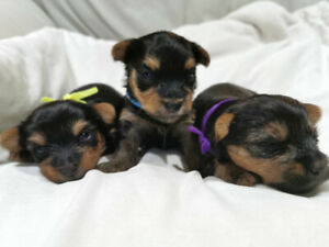 Adopt Dogs & Puppies Locally in Ontario   Pets   Kijiji