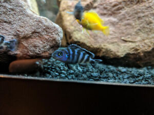7 African cichlid Demasoni and 3 Yellow Labs