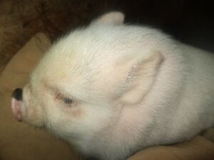 Cute baby pot belly pigs 5 girls and 2 boys Kitchener / Waterloo Kitchener Area image 5