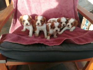 Gorgeous King Charles Cavalier Spaniel puppies for sale