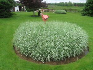 DECORATIVE POTTED VERRIGATED GRASS for YOUR GARDEN