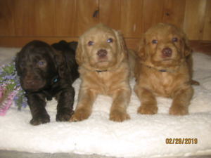 F1 Labradoodle puppies for sale! $1,150 . Low price 12 available