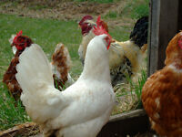 FREE RANGE CHICKENS WANTED