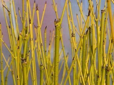50 Green Dogwood 2-3ft Hedging Plants,Stunning Cornus Stolonifera 'Flavirimea'