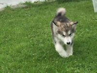 Alaskan malamute puppies ready to go.