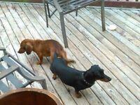 Christmas dashound puppies