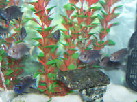 CICHLID BREEDING GROUPS AND BABIES