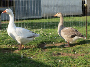 For Sale Young Pair of Pilgrim Geese