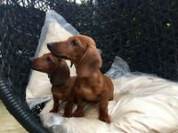 Gorgeous litter of dachshund puppies