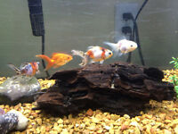 Fancy goldfish and 1 pleco
