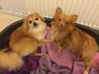 Pomeranian dogs for sale 13 months