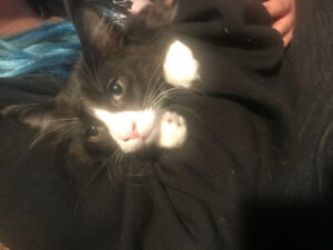 12 week old black and white male kitten