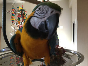 Young Blue and Gold Macaw