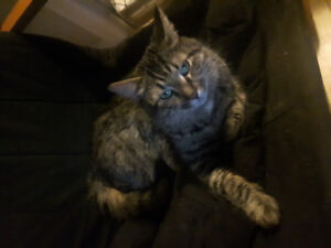 1 year Old Long Hair Female Cat for Rehoming