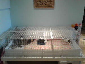 Two female guinea pigs with C&C cage & accessories