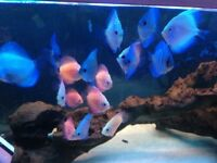 Mix of 6 discus tropical fish live mix strains red yellow blue 2/3""