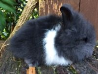 Stunning and Very friendly baby Lionhead boys