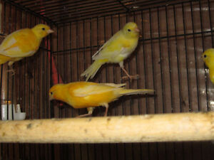 Yellow Canaries. London Ontario image 7
